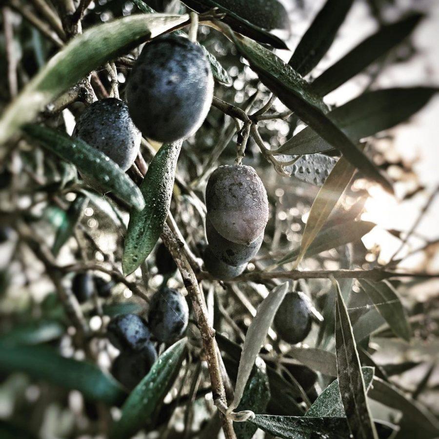 <center>133 kg d'olives récoltés <br> production de notre huile d'olive</center>