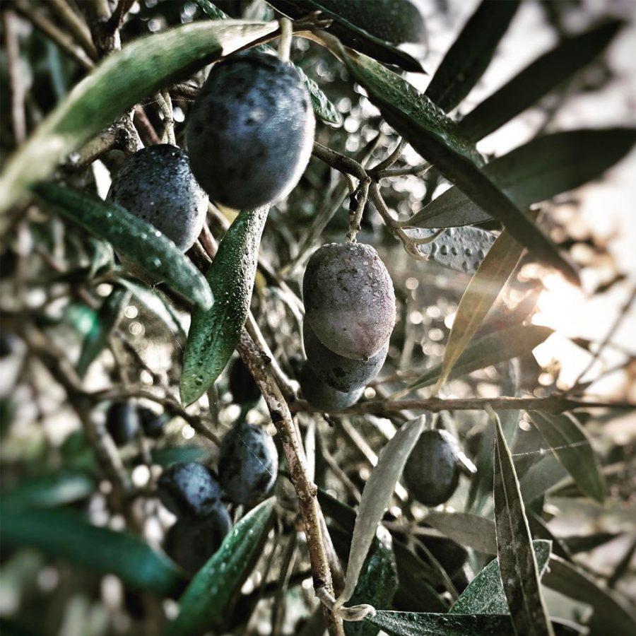 <center>133 kg Olive picked <br> production of our olive oil</center>